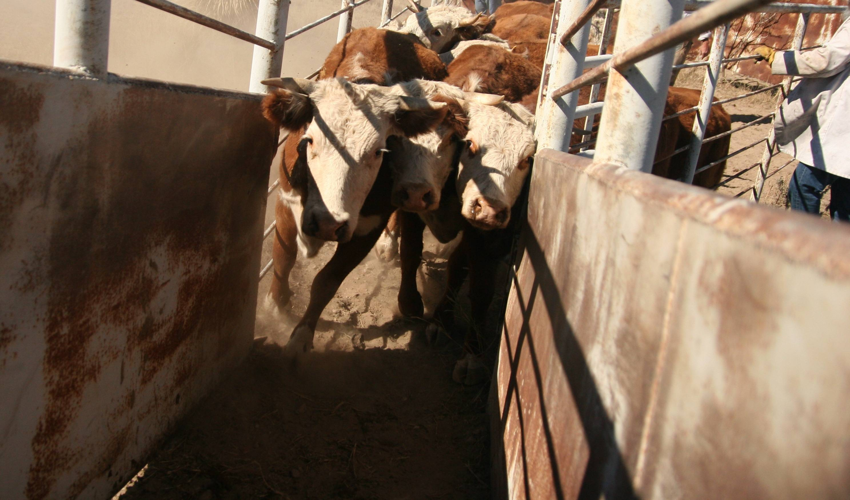 Cattle move up a ramp following inspection in Presidio, Texas.