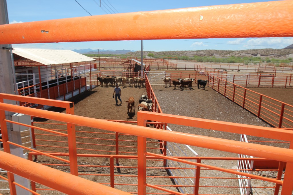 To prevent contamination as the cattle arrives in Ojinaga, Chihuahua, animals belonging to different Mexican producers are separated. (Lorne Matalon)