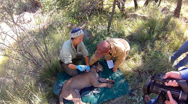 Wildlife biologist Dana Milani and landowner Bert Geary examine an adult female mountain lion. Geary is one of more than 50 landowners who've granted access to their land to study an animal that has been the historical object of scorn by many Texas ranchers. (Price Rumbelow)